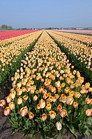 Dutch Tulip fields in springtime