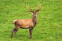 Red Deer, Western European Red Deer Cervus elaphus