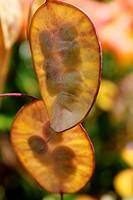 Silberblatt Lunaria annua