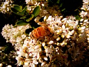 Neuseeland Biene
