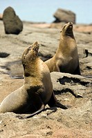 Sea Lions on Bartolome Island - Galapagos Islands, Ecuador