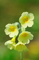 Close Up of Yellow Oxlip, Primula Elatior, Hayley Wood, Cambridgeshire, England, UK
