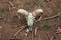 Ram skull on forest ground.