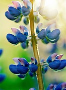 Close_up of blue lupin flower