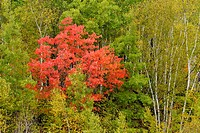 A red maple in a forest of birch and aspen Sudbury Ontario