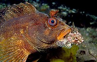 Tompot Blenny (Parablennius gattorugine) devouring Long-spined Bullhead (Taurulus bubalis), Eastern Atlantic, Galicia, Spain