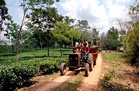 The Karnaphuli tea garden in Chittagong, Bangladesh Tea is a major industry in Bangladesh and grows in the low hills of Chittagong and Sylhet There ar...