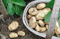 First early new potatoes, 'Arran Pilot', freshly dug, tubers in wooden trug, UK, May