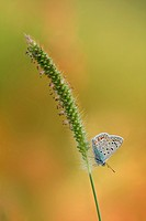 A lycaenidae butterfly, polyommatus icarus, on a ear.