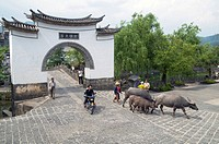 Villagers and water buffalos returning home after work during harvest time in Yunnan province May 2009