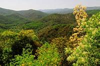 Manna Ash, Fraxinus ornus, Dadia Highland, Thrace, Greece