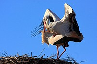White stork mating, Alfaro, La Rioja, Spain