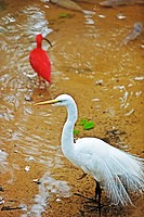 Scarlet Ibis Eudocimus ruber and Snowy Egret Egretta thula Iguacu falls, Brazil