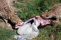 zwei fressende geparden