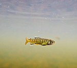 Underwater view of a recently emerged coho salmon Oncorhynchus kisutch, Salmonidae fry rearing in 18_mile Creek, Copper River Delta, Southcentral Alas...