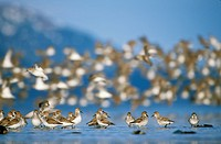 Shorebird flock mostly Western Sandpipers and Dunlins during Spring migration, Copper River Delta,Southcentral Alaska
