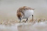Western Sandpiper feeding on mud flats of Hartney Bay during Spring migration, Copper River Delta, Southcentral Alaska