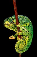 FLAP-NECKED CHAMELEON chamaeleo dilepis, ADULT STANDING ON BRANCH