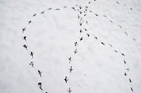 Bird footprints and tracks on snow, close upLondon, England
