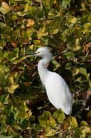 Florida Seidenreiher Egretta garzetta