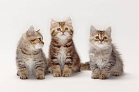British, Longhair, Cats, and, British, Shorthair, Cats, kittens, 10, weeks, Highlander, Lowlander, Britanica,