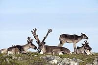 Caribous, Mount, Jacques, Cartier, Gaspesie, national, park, Quebec, Canada, Rangifer, tarandus, caribou,
