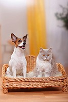 British, Longhair, Cat, lilac_white, and, Jack, Russell, Terrier, Highlander, Lowlander, Britanica,