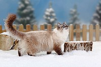 Neva, Masquarade, tomcat, Siberian, Forest, Cat, Siberian, Cat, Siberia, Neva, Masquerade, side,
