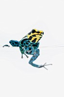 black, yellow and blue poison dart frog dendrobates ventrimaculatus sitting on the edge of a drinking glass