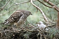 Goshawk, female, with, chicks, in, nest, North, Rhine_Westphalia, Germany, Accipiter, gentilis,