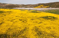 wildflowers bloom in the carrizo plain national monument, mariposa, california, united states of america