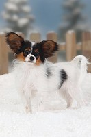 Papillon, puppy, 4, months, Continental, Toy, Spaniel, Butterfly, Dog, side,