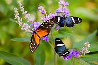 three colorful butterflies on blossoms in spring, oregon, usa