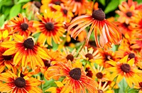 Close_up of orange Mexican sunflowers in the garden