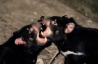 TASMANIAN DEVIL sarcophilus harrisi, PAIR FIGHTING, AUSTRALIA