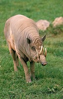 BABIRUSA babyrousa babyrussa, MALE STANDING ON GRASS
