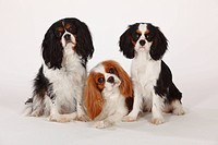 Cavalier, King, Charles, Spaniel, blenheim, and, tricolour, 7, months,