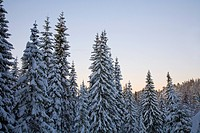 Coniferous trees with snow