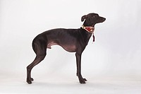 Italian, Greyhound, male, Piccolo, Levriero, Italiano, collar, side,