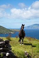 horse on ocean coast, skellig islands, county kerry, ireland