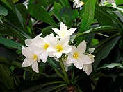 Flowers, Plumeria, White Plumeria, Frangipani, Botanical garden, City, Rio de Janeiro, Brazil