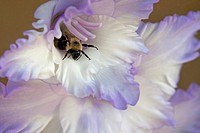 Bee in Gladiolus