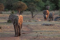 African Elephant herd Loxodonta africana  Vulnerable species   The elephant herds at Mashatu often walk in a single colum and use the paths frequentyl...