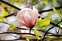 One of the spieces of Magnolia plant of the Magnoliaceae plant family