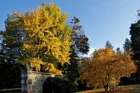 MAGNOLIAS AND GINKGO BILOBA TREES IN THE GOLDEN COLOURS OF AUTUMN, THE CHATEAU AND ARBORETUM OF HARCOURT, EURE 27, FRANCE