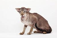 Siamese, Cat, tomcat, seal_tabby_point,