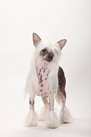 Chinese, Crested, Dog, hairless, bitch,