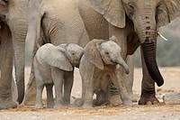 Desert Elephants, Loxodonta africana, Hoanib dry river, Namibia, Africa, January 2011 / Wüstenelefanten