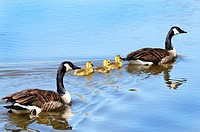 A family of Canadian Geese swimming up a river.Branta canadensis