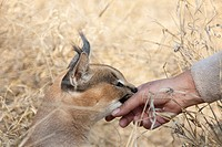Caracal Caracal caracal - Tenderly interaction between semi-tame animal and keeper  Photographed in captivity  Harnas Wildlife Foundation, Namibia